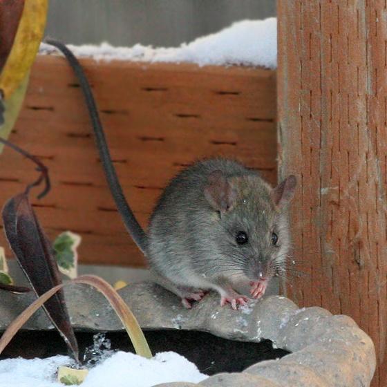 get rid of rats