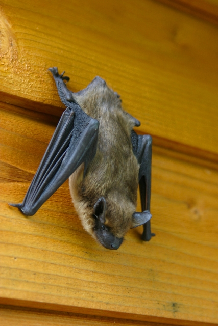 Bat hanging on a wall