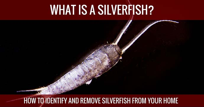 What is a silverfish How to identify and Remove Silverfish From Your Home