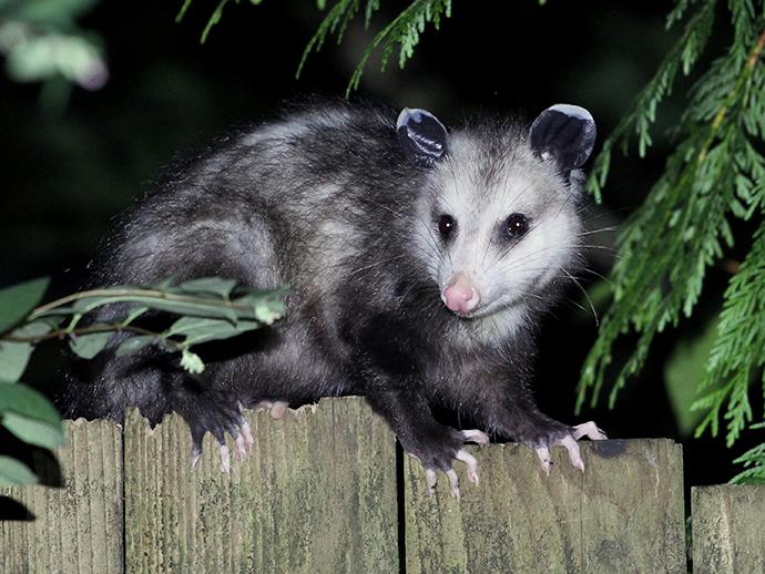 a possum on a fence