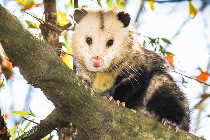 Opossum on tree branch