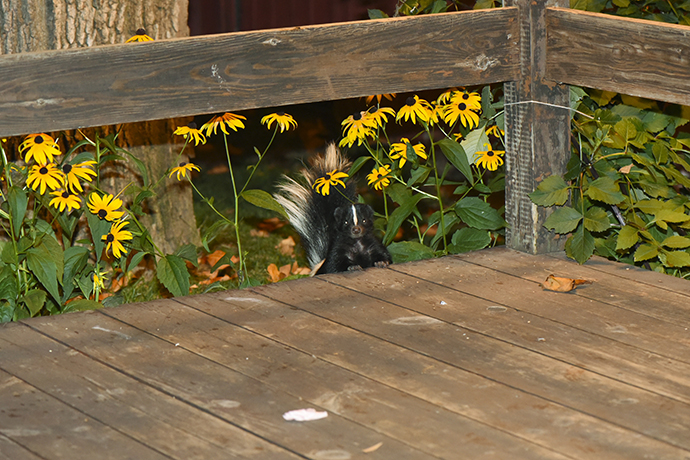 a skunk on the patio