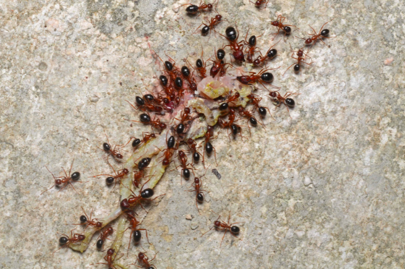 a colony of carpenter ants