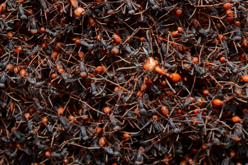 image of an ant infestation