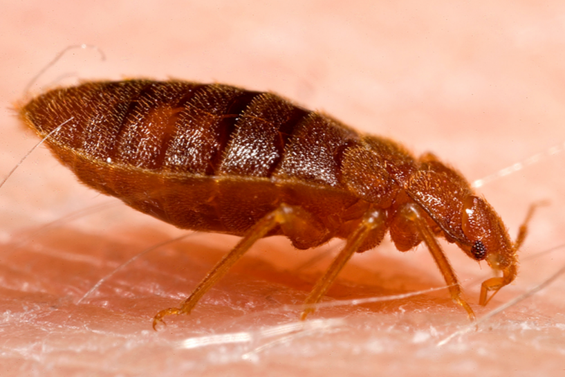 bed bugs closeup