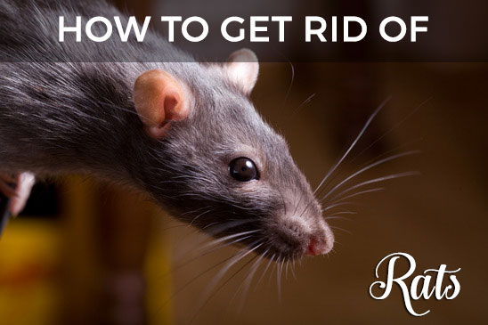 Rats In Your Attic Or Home Learn How To Get Rid Of Them