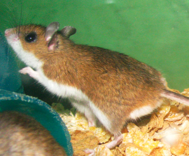 deer mouse looking for food