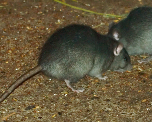 two roof rats feeding
