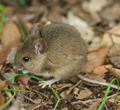 wood mouse in the forrest